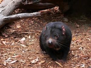 tasmanian-devil-164509_960_720