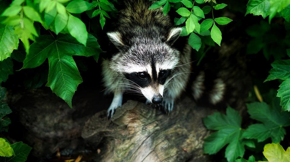 raccoon-1885137_960_720
